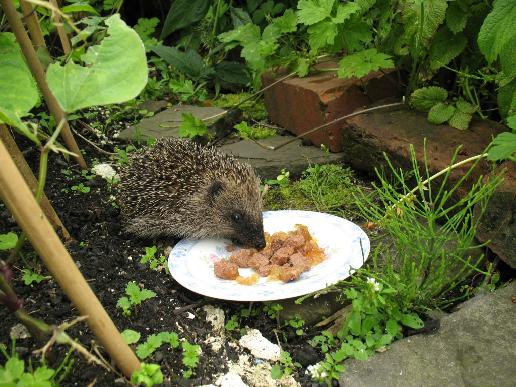 2012-07-05_Hedgehog